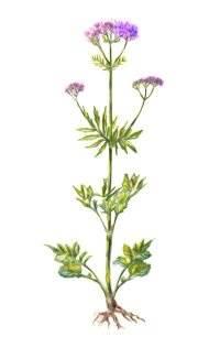 Valeriana-flor